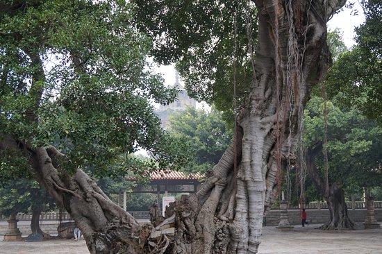Quanzhou, China: banyan tree