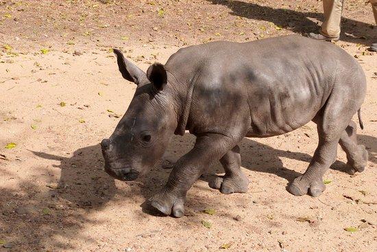 Hoedspruit, Sudáfrica: Cute white rhino calf in rehab