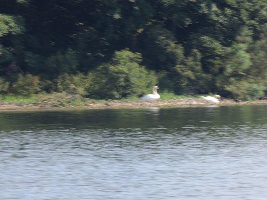 Kinross, UK: swans