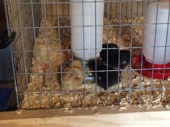 Cape Lookout Bed n Breakfast: Our 2 day old chickens, so sweet.