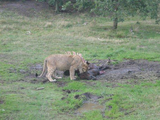 Гиве, Дания: kørsel blandt løverne gør at man kan se når de spiser.