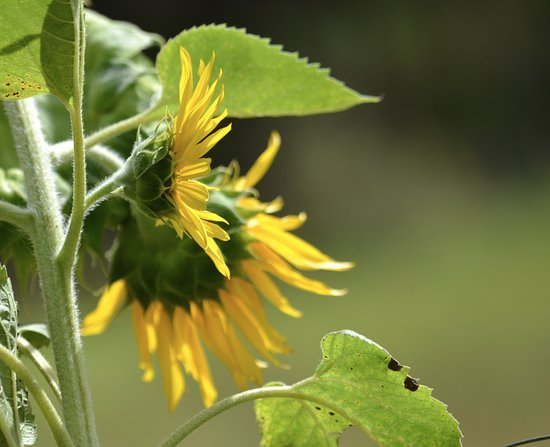 Skookumchuck, Καναδάς: Sunflowers overlooking the garden