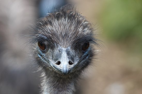 Burford, UK: Emu