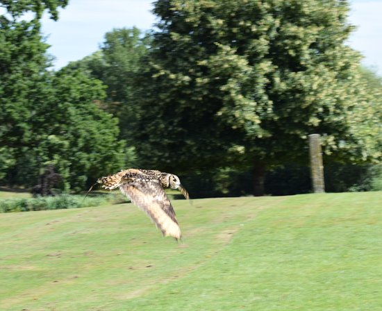 Newent, UK: An owl in flight during the flying display
