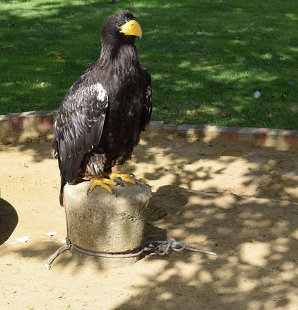 A Stellers Sea Eagle Picture Of The International Centre For Birds Of Prey Newent Tripadvisor