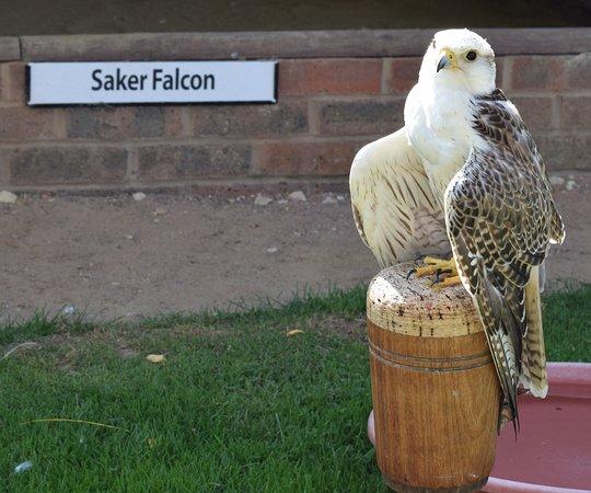 Newent, UK: Beautiful Saker Falcon