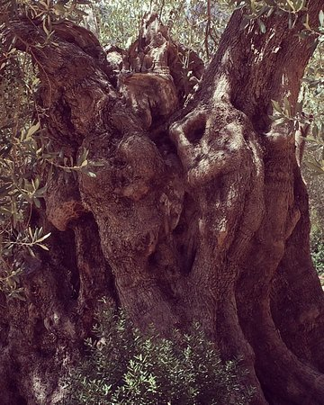 Finca Es Castell: centenary and millenary olive trees, amazing beings