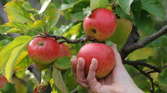 Oswego, NY: Apple Picking