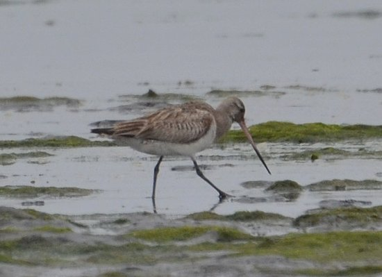 Aberdeen, WA: Bar-tailed Godwit, rare to Washington State.