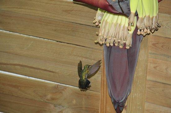 Fleur de bananier avec un colibri sur la terrasse for Jardin 3 rivieres