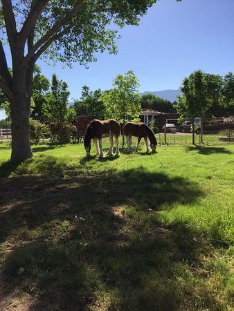 Corrales, NM: Two Clydesdale mares enjoying their pasture.