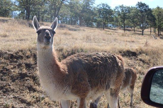 Winston, OR: Llama?