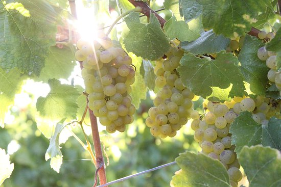 Sun shines through clusters of Chardonnay grapes in Sonoma Valley in August.