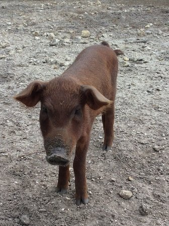 North Fort Myers, FL: Red Waddel piglet