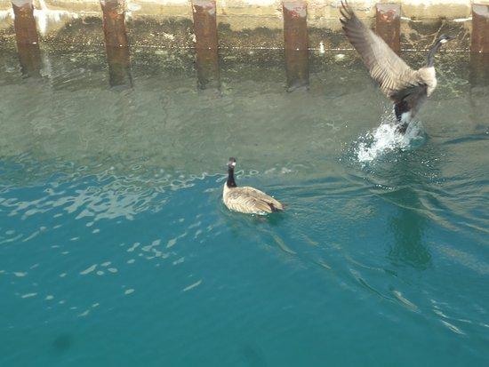 Sault Ste. Marie, MI: geese in locks