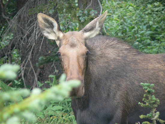 Winter Park, CO: cow moose chewing on willow