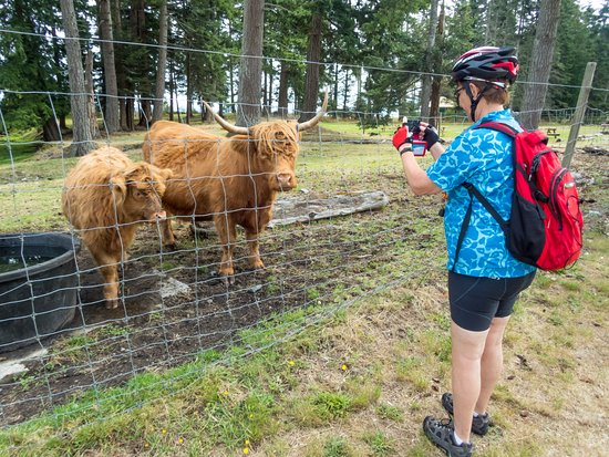Courtenay, Kanada: Highland Cattle on the way to Campbell River