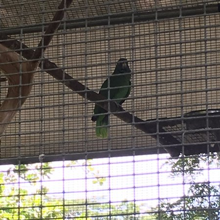 Roseau, Dominica: Parrots