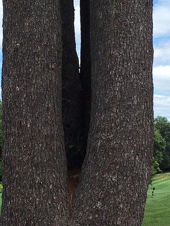 East Stroudsburg, เพนซิลเวเนีย: unusual-4 trunk tree