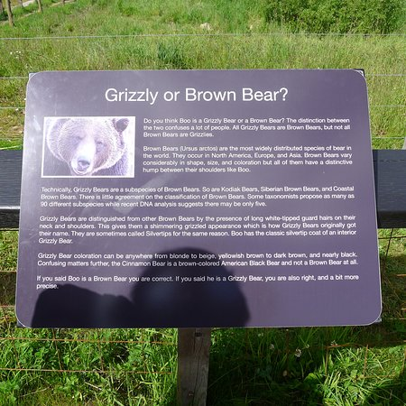Golden, Kanada: Grizzly or Brown Bear