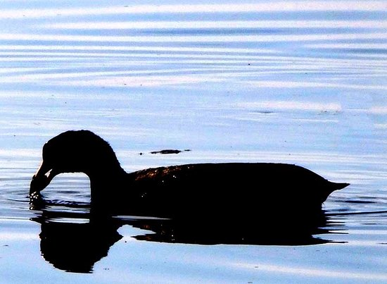 Juanacatlan, México: A coot was spotted swimming in the previously polluted river.
