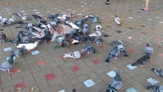 Davao City, Filippinerna: free flying pigeons