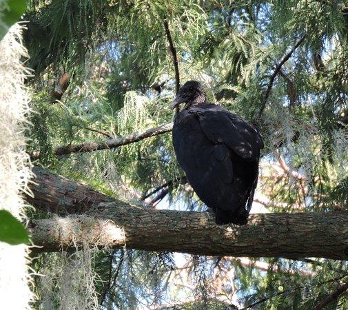 Mount Dora, FL: Turkey Vulture