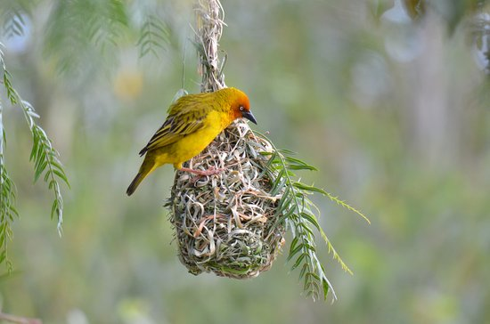 Addo, Sudáfrica: Weaver bird on nest on hotel ground