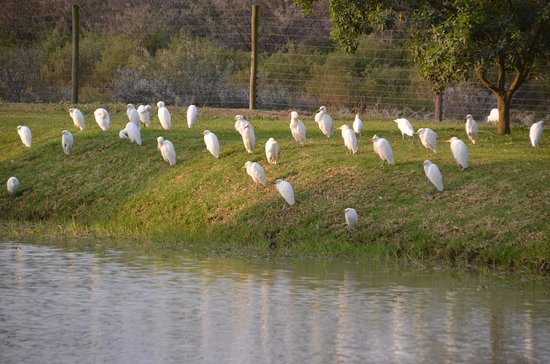 Addo, Sudáfrica: Pond with egrets in the morning