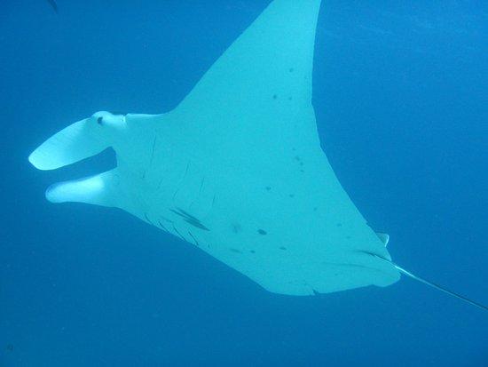 Lady Elliot Island, Australia: Close encounter with a manta ray