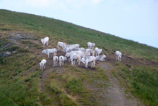 Croce del Pratomagno: bovini al pascolo nei pressi della Croce