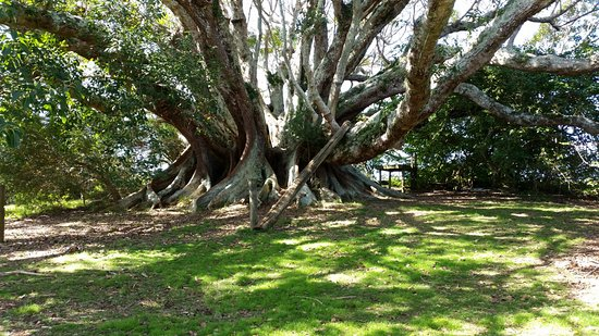Ilha de Norfolk, Austrália: huge tree just north of the curch
