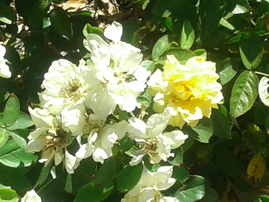 Rose Garden at Mesa Community College: 20160720_144053_large.jpg