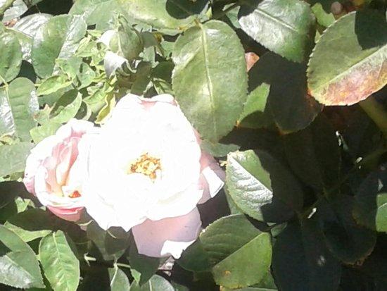 Rose Garden at Mesa Community College: 20160720_143947_large.jpg