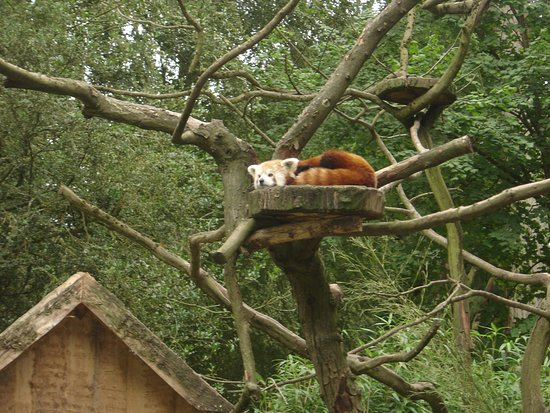 Cleres, فرنسا: Le panda roux