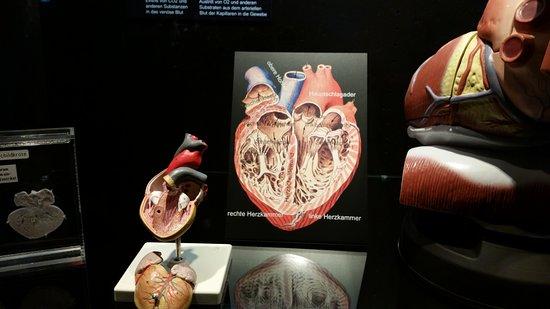 Dauerausstellung: vergleichende Anatomie - Bild von KULTURAMA Museum ...