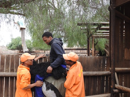 Oudtshoorn, جنوب أفريقيا: Our son Jonathan riding an Ostrich, professionaly helped by two jockeys