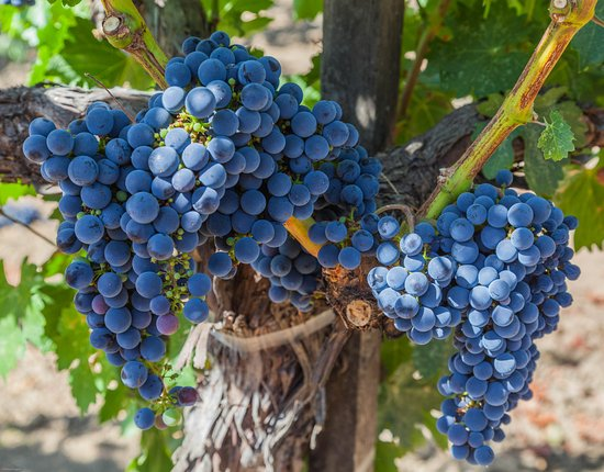 Rutherford, Californien: Grapes on vine