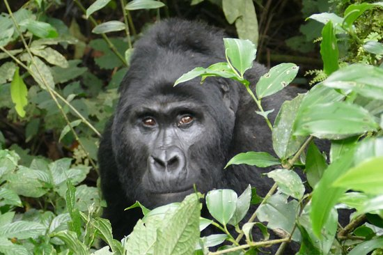 Gorillas and Wildlife Safaris - Day Tours : photo2.jpg