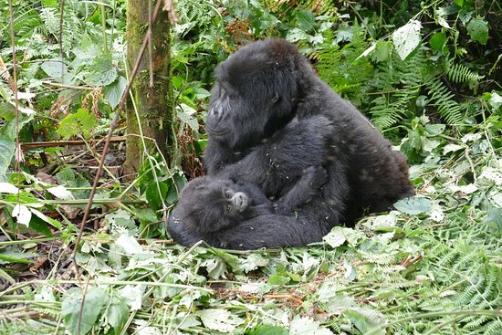 Gorillas and Wildlife Safaris - Day Tours : photo3.jpg