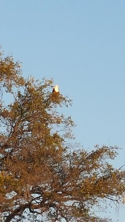Kasane, Botswana: Fish Eagle