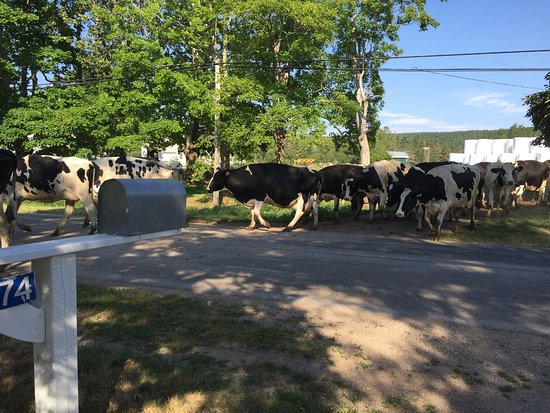 Granville Ferry, Kanada: Dairy cows crossing the road from one field to another; a daily routine.