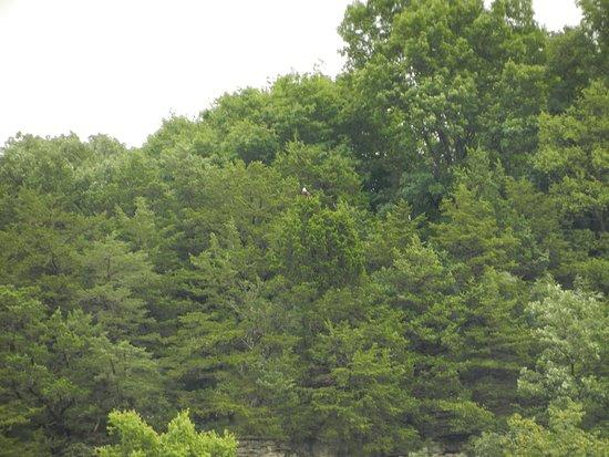 Decorah, Αϊόβα: bald eagle center of picture near Trout Run Trail