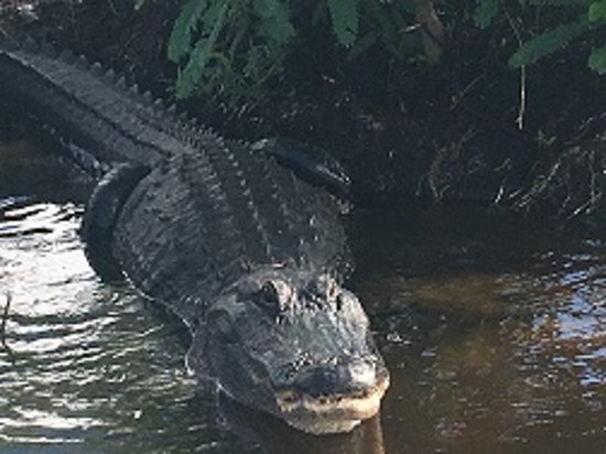 Saint Cloud, FL: Momma Gator checking us out, up and too close for me. lol