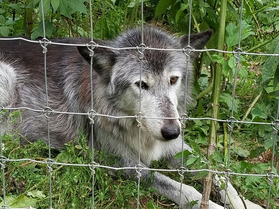 Wolf Sanctuary of PA: 20160716_193053_large.jpg