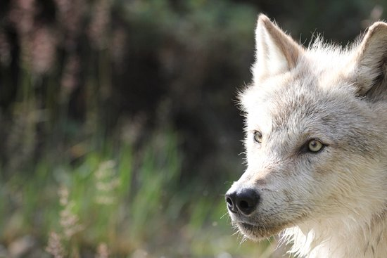 Golden, Canada: Grey Wolf