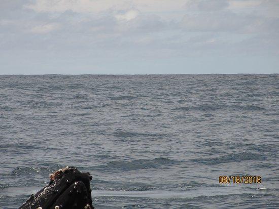 Κόλπος Drake, Κόστα Ρίκα: humpback surfacing near our boat!
