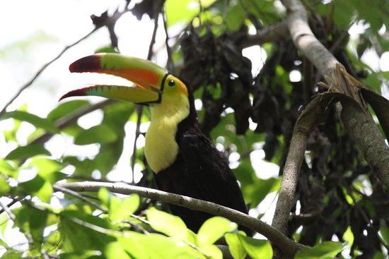 Hopkins, Belize : Keel Billed Toucan