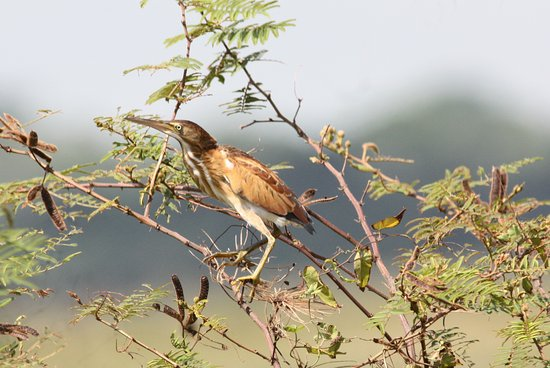 Hopkins, Belize : Least Bittern