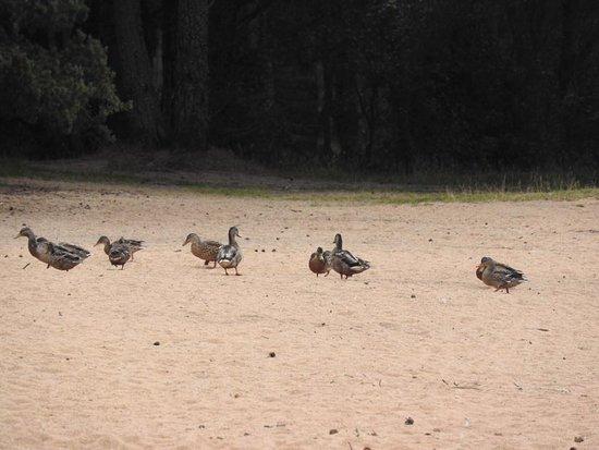 Aviemore, UK: ducks come for a walk